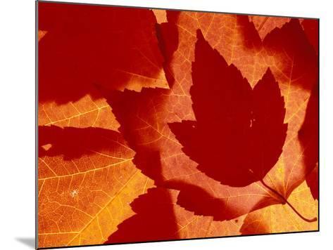 Maple Leaf Collage, Washington, USA--Mounted Photographic Print