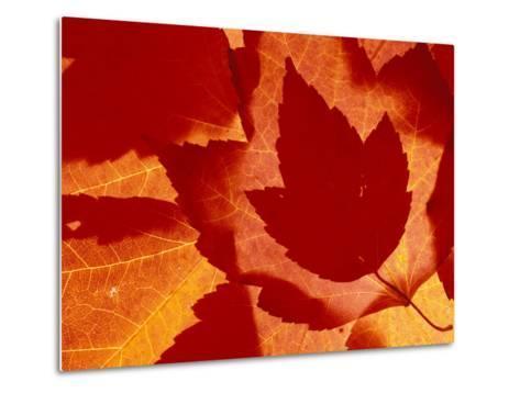 Maple Leaf Collage, Washington, USA--Metal Print