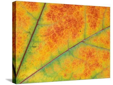 Fall Leaf Detail, Washington, USA--Stretched Canvas Print
