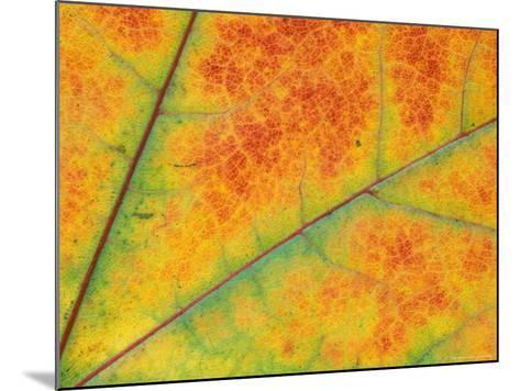 Fall Leaf Detail, Washington, USA--Mounted Photographic Print