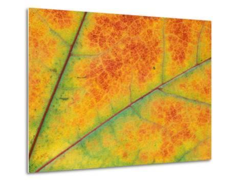 Fall Leaf Detail, Washington, USA--Metal Print