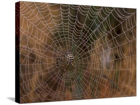 Spider in Web, Washington, USA-Terry Eggers-Stretched Canvas Print
