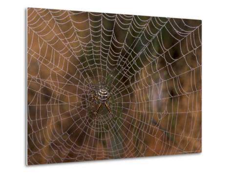 Spider in Web, Washington, USA-Terry Eggers-Metal Print
