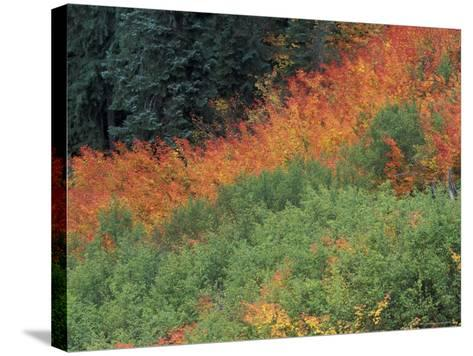 Autumn Color in the Mt. Rainier National Park, Washington, USA-William Sutton-Stretched Canvas Print