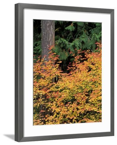 Vine Maple, Mt. Rainier National Park, Washington, USA-William Sutton-Framed Art Print