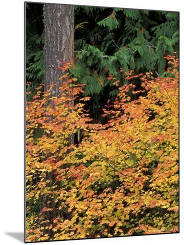 Vine Maple, Mt. Rainier National Park, Washington, USA-William Sutton-Mounted Photographic Print
