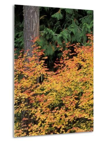 Vine Maple, Mt. Rainier National Park, Washington, USA-William Sutton-Metal Print