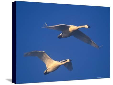 Trumpeter Swans in Flight, Skagit Valley, Washington, USA-William Sutton-Stretched Canvas Print