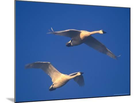 Trumpeter Swans in Flight, Skagit Valley, Washington, USA-William Sutton-Mounted Photographic Print