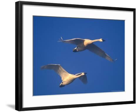 Trumpeter Swans in Flight, Skagit Valley, Washington, USA-William Sutton-Framed Art Print