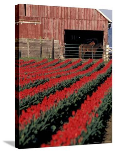 Tulip Field and Barn with Horses, Skagit Valley, Washington, USA-William Sutton-Stretched Canvas Print