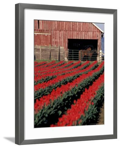Tulip Field and Barn with Horses, Skagit Valley, Washington, USA-William Sutton-Framed Art Print