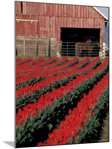 Tulip Field and Barn with Horses, Skagit Valley, Washington, USA-William Sutton-Mounted Photographic Print
