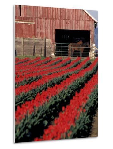 Tulip Field and Barn with Horses, Skagit Valley, Washington, USA-William Sutton-Metal Print