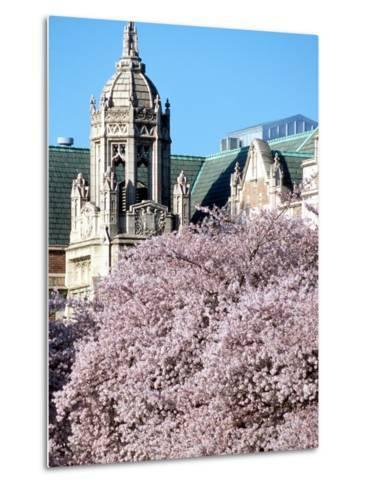 Cherry Blooms at the University of Washington, Seattle, Washington, USA-William Sutton-Metal Print