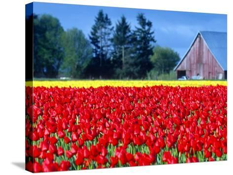 Tulip Field, Washington, USA-William Sutton-Stretched Canvas Print