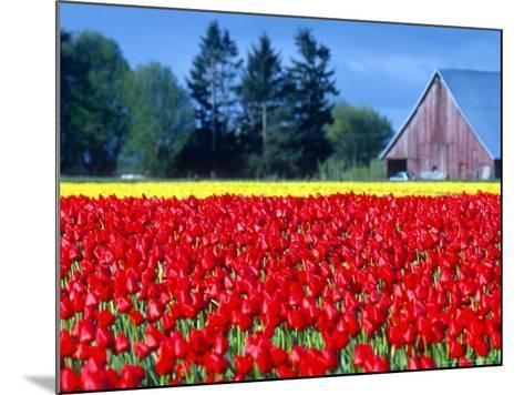 Tulip Field, Washington, USA-William Sutton-Mounted Photographic Print
