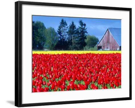Tulip Field, Washington, USA-William Sutton-Framed Art Print