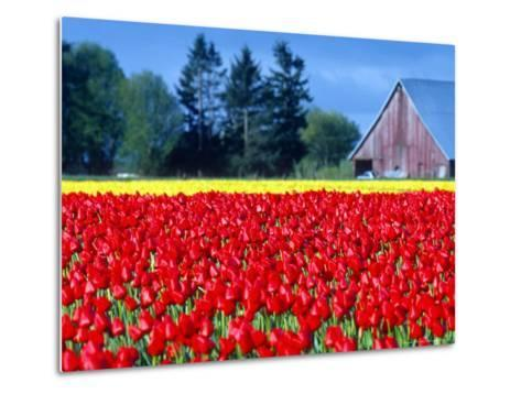 Tulip Field, Washington, USA-William Sutton-Metal Print