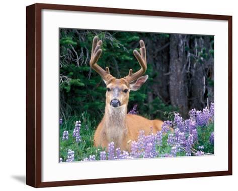 Black-Tailed Deer, Olympic National Park, WA USA-Steve Kazlowski-Framed Art Print