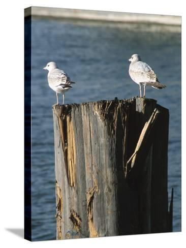 Seagulls on Wet and Rickety Submerged Wooden Posts--Stretched Canvas Print