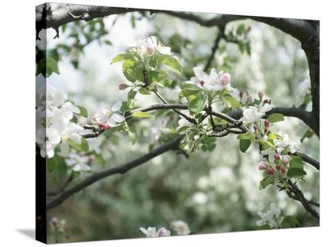 Blooming White Fruit Blossoms on Tree Bough--Stretched Canvas Print