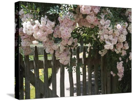 Beautiful Pink Roses Growing on Wooden Fence--Stretched Canvas Print