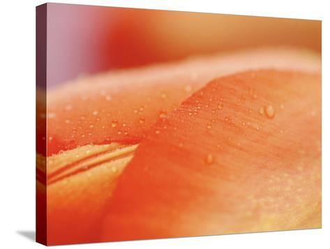 Close-up of Dew on Blooming Red Flower Petal--Stretched Canvas Print