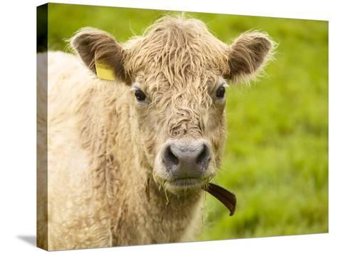 Shaggy Cow with Yellow Ear Tag Standing in Green Pasture--Stretched Canvas Print