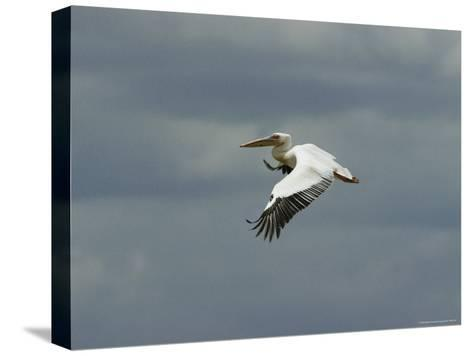 Eastern White Pelican in Flight-Klaus Nigge-Stretched Canvas Print