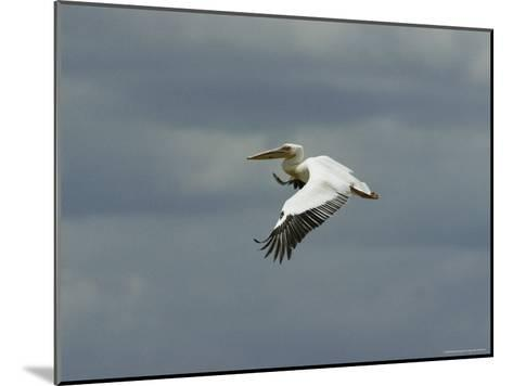 Eastern White Pelican in Flight-Klaus Nigge-Mounted Photographic Print
