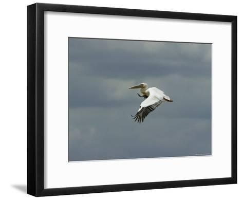 Eastern White Pelican in Flight-Klaus Nigge-Framed Art Print