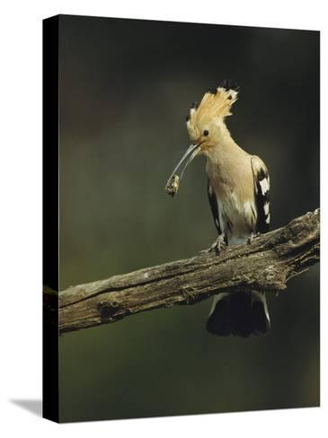 Hoopoe with an Insect in its Bill Perched on a Tree Limb-Klaus Nigge-Stretched Canvas Print
