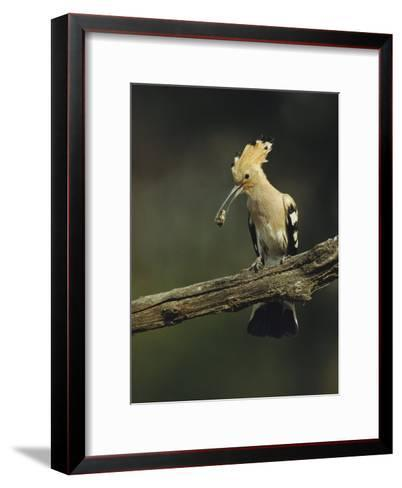 Hoopoe with an Insect in its Bill Perched on a Tree Limb-Klaus Nigge-Framed Art Print