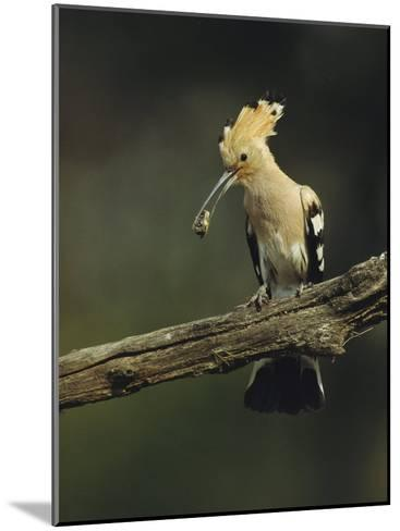 Hoopoe with an Insect in its Bill Perched on a Tree Limb-Klaus Nigge-Mounted Photographic Print