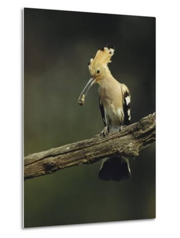 Hoopoe with an Insect in its Bill Perched on a Tree Limb-Klaus Nigge-Metal Print