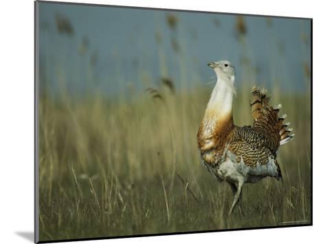 Prairie Chicken Strutting Through a Field of Tall Grass-Klaus Nigge-Mounted Photographic Print