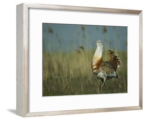 Prairie Chicken Strutting Through a Field of Tall Grass-Klaus Nigge-Framed Art Print