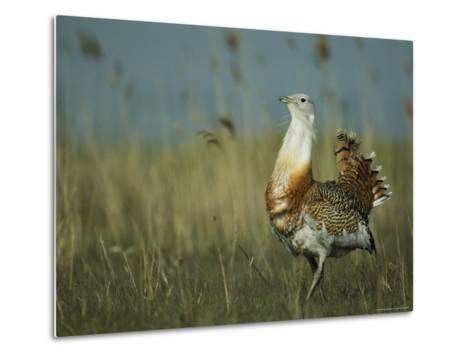 Prairie Chicken Strutting Through a Field of Tall Grass-Klaus Nigge-Metal Print