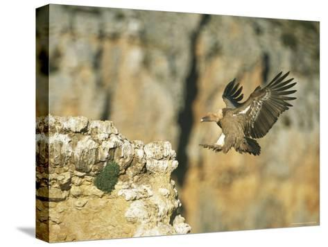Griffon Vulture Coming in for a Landing on a Rocky Outcrop-Klaus Nigge-Stretched Canvas Print