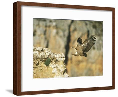 Griffon Vulture Coming in for a Landing on a Rocky Outcrop-Klaus Nigge-Framed Art Print