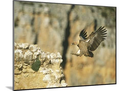 Griffon Vulture Coming in for a Landing on a Rocky Outcrop-Klaus Nigge-Mounted Photographic Print