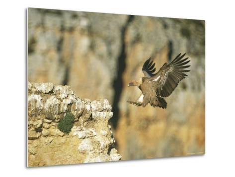 Griffon Vulture Coming in for a Landing on a Rocky Outcrop-Klaus Nigge-Metal Print