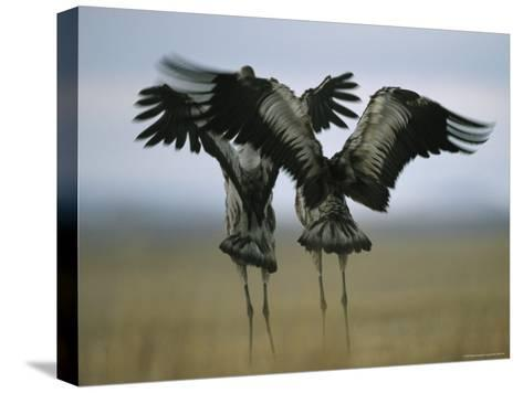 Pair of Common Cranes Stretching and Flapping Their Wings-Klaus Nigge-Stretched Canvas Print