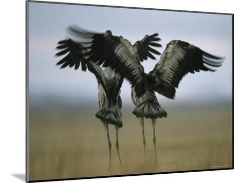 Pair of Common Cranes Stretching and Flapping Their Wings-Klaus Nigge-Mounted Photographic Print