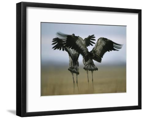 Pair of Common Cranes Stretching and Flapping Their Wings-Klaus Nigge-Framed Art Print