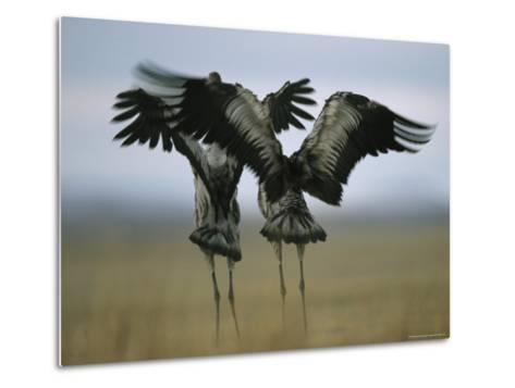 Pair of Common Cranes Stretching and Flapping Their Wings-Klaus Nigge-Metal Print