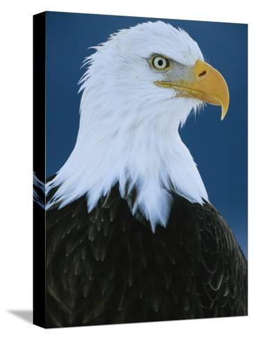 Portrait of an American Bald Eagle-Klaus Nigge-Stretched Canvas Print