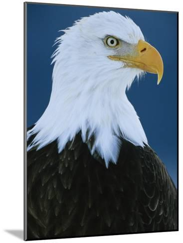 Portrait of an American Bald Eagle-Klaus Nigge-Mounted Photographic Print