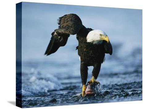 American Bald Eagle Clasps a Fish in its Talons-Klaus Nigge-Stretched Canvas Print